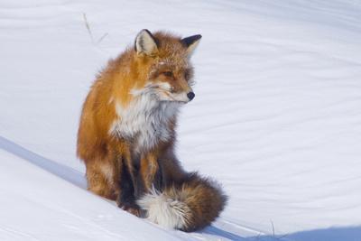 https://imgc.allpostersimages.com/img/posters/red-fox-vulpes-vulpes-adult-rests-on-a-snow-bank-anwr-alaska-usa_u-L-PN6UC20.jpg?p=0