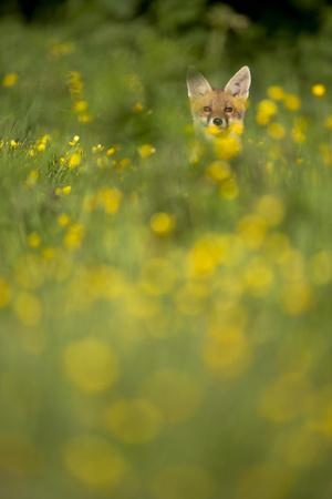 https://imgc.allpostersimages.com/img/posters/red-fox-vulpes-vulpes-in-meadow-of-buttercups-derbyshire-uk_u-L-Q10OH4P0.jpg?p=0