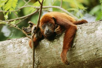 https://imgc.allpostersimages.com/img/posters/red-howler-monkey_u-L-Q106H6H0.jpg?p=0