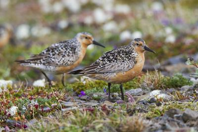 https://imgc.allpostersimages.com/img/posters/red-knots-on-the-arctic-tundra_u-L-Q1D0K7Y0.jpg?p=0
