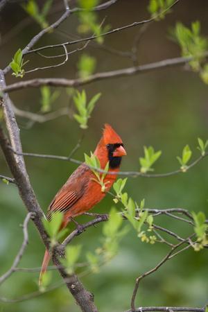 https://imgc.allpostersimages.com/img/posters/red-northern-cardinal-in-tree_u-L-PZPLJX0.jpg?p=0