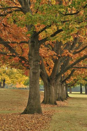 https://imgc.allpostersimages.com/img/posters/red-oaks-at-fernhill-park-portland-oregon-usa_u-L-PN6TUW0.jpg?p=0