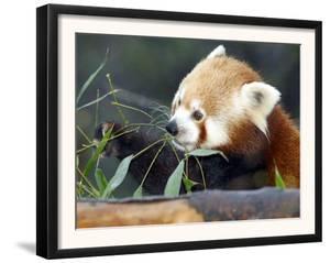 Red Panda Xia-Tschung-Mao Feeds on Bamboo