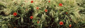 Red Poppies in a Barley Field, Baden-Wurttemberg, Germany