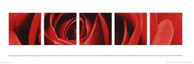 Red Rose (Burgeoning) Art Poster Print