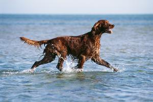Red Setter Dog Walking in the Sea
