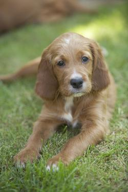 Red Setter Puppy Lying Down