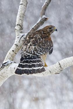 Red-Shouldered Hawk Adult Bird in Snowstorm