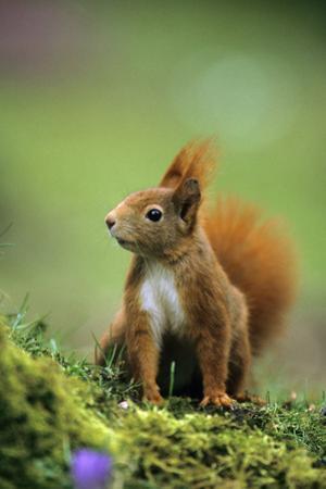 Red Squirrel on Alert