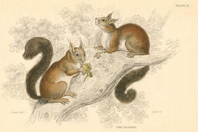 Red Squirrel (Sciurus Vulgari), Tree-Living Rodent Native to Europe and Asia, 1828