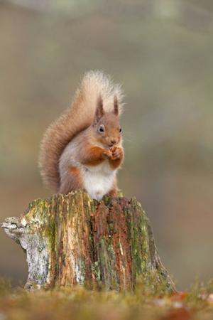 Red Squirrel Sitting on an Old Stump and Eating