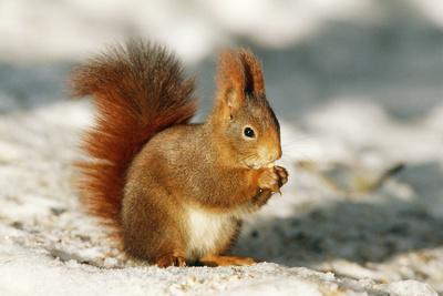 https://imgc.allpostersimages.com/img/posters/red-squirrel_u-L-Q106K7N0.jpg?p=0