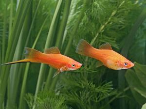 Red Swordtail Pair Side View