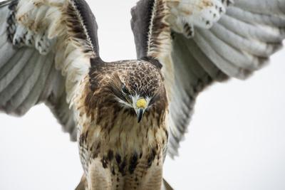 https://imgc.allpostersimages.com/img/posters/red-tailed-hawk-buteo-jamaicensis-bird-of-prey-england-united-kingdom_u-L-PXXX3S0.jpg?p=0