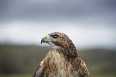 https://imgc.allpostersimages.com/img/posters/red-tailed-hawk-buteo-jamaicensis-bird-of-prey-herefordshire-england-united-kingdom_u-L-PWFSQ40.jpg?p=0