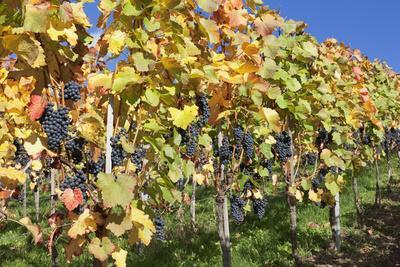 https://imgc.allpostersimages.com/img/posters/red-wine-grapes-autumn-uhlbach-baden-wurttemberg-germany-europe_u-L-PWFLEK0.jpg?p=0