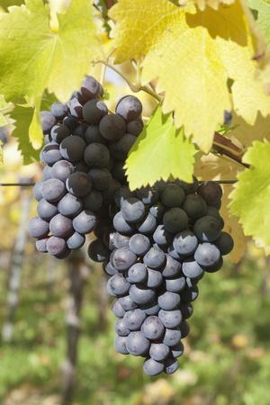 https://imgc.allpostersimages.com/img/posters/red-wine-grapes-in-autumn-uhlbach-stuttgart-baden-wurttemberg-germany-europe_u-L-PQ8ORN0.jpg?p=0