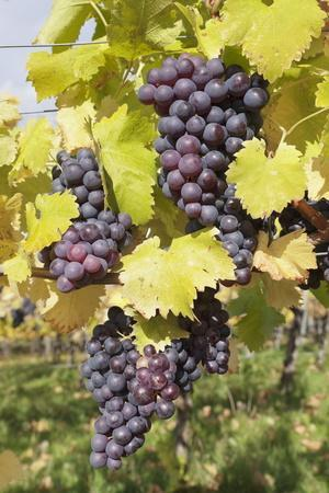 https://imgc.allpostersimages.com/img/posters/red-wine-grapes-in-autumn-uhlbach-stuttgart-baden-wurttemberg-germany-europe_u-L-PQ8ORZ0.jpg?p=0