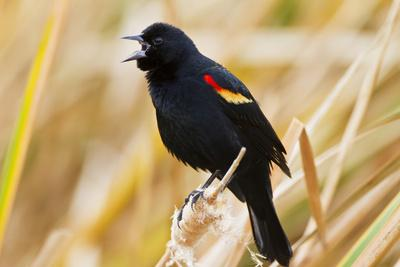 https://imgc.allpostersimages.com/img/posters/red-winged-blackbird-agelaius-phoeniceus-male-singing-texas-usa_u-L-PN6N000.jpg?p=0