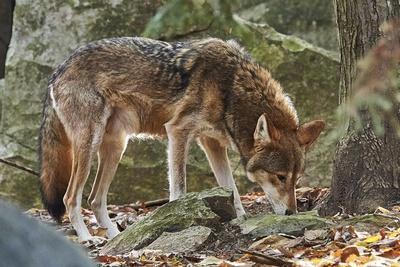https://imgc.allpostersimages.com/img/posters/red-wolf_u-L-PZQRDV0.jpg?p=0