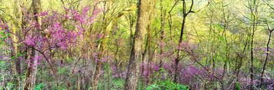 Redbud (Cercis canadensis) trees in a forest, Wayne National Forest, Ohio, USA