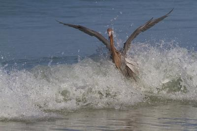 https://imgc.allpostersimages.com/img/posters/reddish-egret-egretta-rufescens-hunting-small-marine-fish-at-surf-s-edge_u-L-Q10VMP60.jpg?p=0