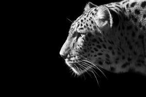 Leopard Portrait by Reddogs