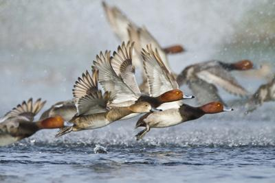 https://imgc.allpostersimages.com/img/posters/redhead-duck-flock-flying-from-freshwater-pond-texas-usa_u-L-PXR7CC0.jpg?artPerspective=n