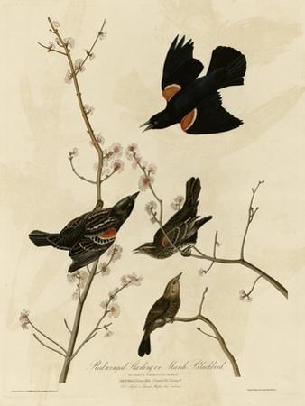 Redwinged Starling
