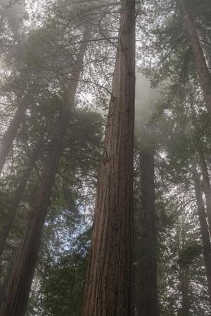 https://imgc.allpostersimages.com/img/posters/redwood-fog-california_u-L-Q1ASTMS0.jpg?p=0