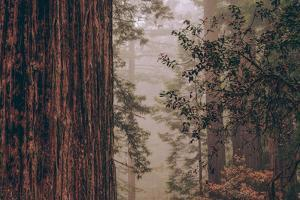Redwood Forest Detail, California Coast