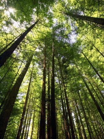 https://imgc.allpostersimages.com/img/posters/redwood-forest-rotorua-new-zealand_u-L-P2TADQ0.jpg?p=0