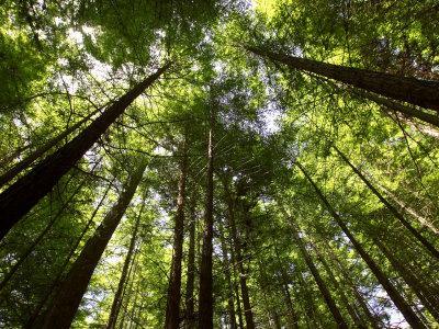 https://imgc.allpostersimages.com/img/posters/redwood-forest-rotorua-new-zealand_u-L-P2TAF20.jpg?p=0