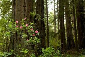 Redwood Trees and Rhododendron Flowers in a Forest, Del Norte Coast Redwoods State Park
