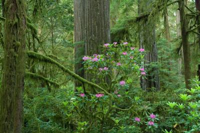 Redwood Trees and Rhododendron Flowers in a Forest, Jedediah Smith Redwoods State Park