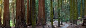 Redwood Trees in a Forest, Sequoia National Park, California, Usa
