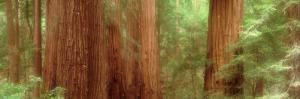 Redwood Trees, Muir Woods, California, USA