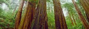Redwood Trees, Muir Woods National Monument, California, USA