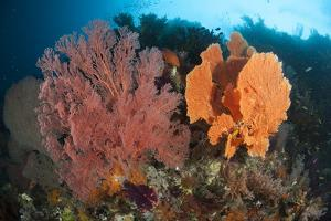 Reefscape in Raja Ampat Covered in Gorgonians, Indonesia