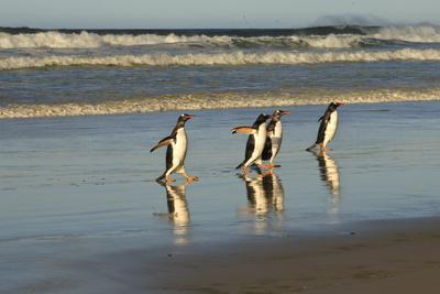 https://imgc.allpostersimages.com/img/posters/reflected-gentoo-penguins-pygoscelis-papua-emerge-from-the-sea_u-L-PQ8U3T0.jpg?p=0