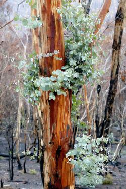 Regrow on Gum Trees after Bush Fire