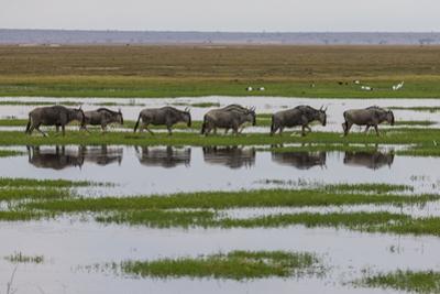 Kenya, Kajiado County, Amboseli National Park, Gnu Connochaetes by Reiner Harscher