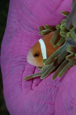 Anemonefish (Amphiprion Nigripes) in a Sea Anemone, Pacific Ocean. by Reinhard Dirscherl