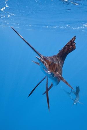 Atlantic Sailfish (Istiophorus Albicans), Isla Mujeres, Yucatan Peninsula, Caribbean Sea, Mexico. by Reinhard Dirscherl