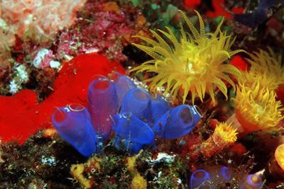Blue Sea Squirts or Tunicates (Dendrophillia) and Yellow Cave Coral (Tubastrea) by Reinhard Dirscherl