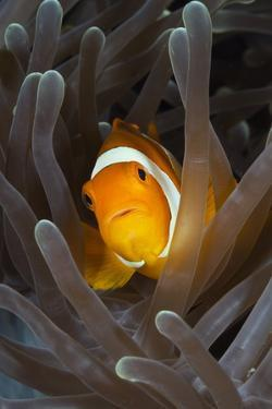 Clown Anemonefish (Amphiprion Ocellaris), Raja Ampat, West Papua, Indonesia by Reinhard Dirscherl