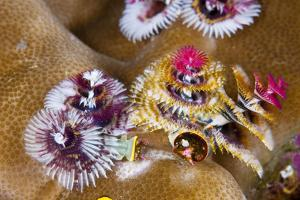 Coloured Christmas Tree Worm, Spirobranchus Giganteus, Florida Islands, the Solomon Islands by Reinhard Dirscherl
