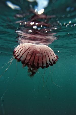 Compass Jellyfish (Chrysaora Hysocella) South Africa by Reinhard Dirscherl