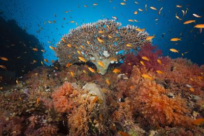 Coral Reef with Coloured Soft Corals, the Red Sea, Dahab, Egypt by Reinhard Dirscherl