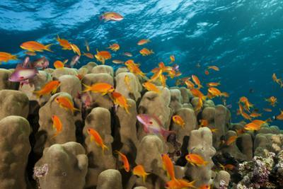 Coral Reef with Harem-Flag Perches, Pseudanthias Squamipinnis, the Red Sea, Ras Mohammed, Egypt by Reinhard Dirscherl